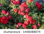 Flowering Bush Groundcover Ros...