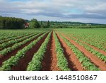 Rows And Rows Of Potato Plants...