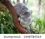 Cute Sleeping Baby Koala Bear...