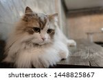 Persian Cat  Fluffy White With...