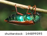 Small photo of Jewel beetle of family Buprestidae, possibly Sternocera nitens or S. Brahmina,hanging from a twig. From Tamil Nadu, South India