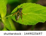 A European Paper Wasp Is...