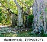 giant banyan tree with... | Shutterstock . vector #1449036071