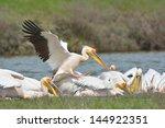 pelicans in natural habitat ... | Shutterstock . vector #144922351