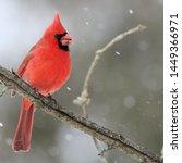 Northern Cardinal  Male ...
