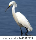 Snowy Egret Fishing In The...