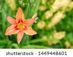 Small photo of blooming flower orange Lilium bulbiferum. plant blooming orange tropical flower tiger lily