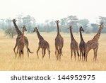 a group of giraffes  giraffa... | Shutterstock . vector #144952975