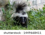Young striped skunk (Mephitis mephitis) near the human dwelling