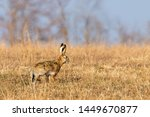 Stock photo european brown hare lepus europeaus hiding in field spring time 1449670877