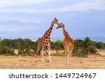 Reticulated giraffe Two reticulated giraffes Giraffa camelopardalis  reticulata greet each other waterhole Sweetwaters Ol Pejeta Conservancy Kenya East Africa mountains distance copy space