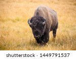 American Bison Buffalo Bull In...