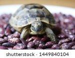 Stock photo little turtle petite baby tortoise 1449840104