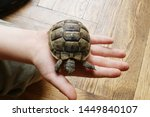 Stock photo little turtle petite baby tortoise 1449840107