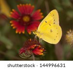 Bright Yellow Clouded Sulphur...