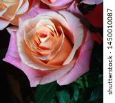 Stock photo macro photo nature blooming flower pink rose background plant rose with pink and open bud image 1450010087
