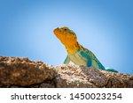 A Colorful Male Collared Lizar...