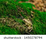 Green frog on the moss. True frog in the forest