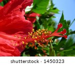 flowering hibiscus - stock photo