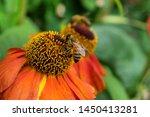A Bee Sat On Helenium \'sahin\'s...