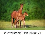 Red Mare And Foal Run On Spring ...