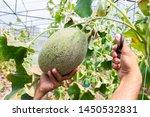 gardener is harvesting fresh... | Shutterstock . vector #1450532831