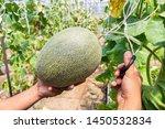 gardener is harvesting fresh... | Shutterstock . vector #1450532834
