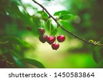 Ripe Cherries Hanging From A...