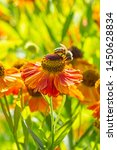 Helenium Waltraut With A Bee...