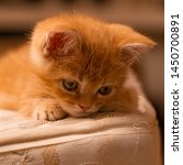 Stock photo cute kitten looking while rest 1450700891