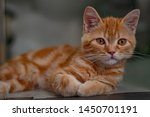 Stock photo cute kitten looking while rest 1450701191