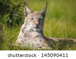 Eurasian Lynx Rests In The...