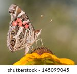 American Painted Lady Butterfl...