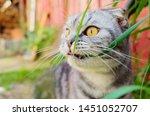 Funny Scottish Fold Cat Eats...
