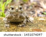 Common Asian Toad Or...