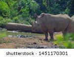 The Javan Rhinoceros ...
