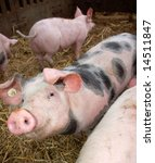 Pink pig with black dots smiling into the camera - stock photo