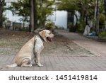 light brown labrador retriever...   Shutterstock . vector #1451419814