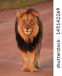 Male Lion In The Road
