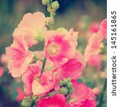 Small photo of Pink hollyhock (Althaea rosea) blossoms vintage tone style