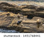 sea lions   seals napping on a... | Shutterstock . vector #1451768441