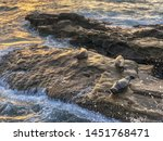 sea lions   seals napping on a... | Shutterstock . vector #1451768471