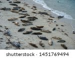 sea lions   seals napping on a... | Shutterstock . vector #1451769494