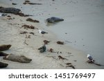sea lions   seals napping on a... | Shutterstock . vector #1451769497