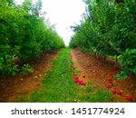 Row Of Apple Trees In The Fall...