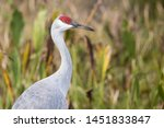 A Sandhill Crane in Shingle Creek Regional Park (considered the headwaters of the Everglades) in Osecola, Florida.