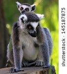 Ring-tailed lemur (Lemur catta) - Mother and child - stock photo