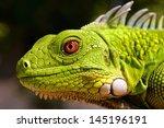 Closeup Of Green Iguana