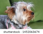 Stock photo puppy of the yorkshire terrier the dog is lying on a green sofa a large puppy portrait a puppy 1452063674
