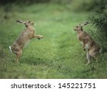Stock photo two aggressive hares 145221751